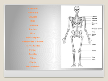 Human Body - Skeletal Sysem