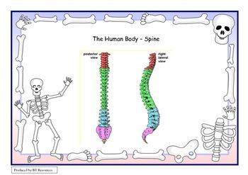 Human Body - Spine