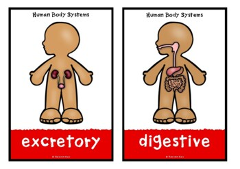 Human Body Systems Picture Cards