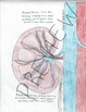 Human Body Systems- Urinary
