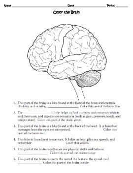 human body the nervous system worksheet by sweet d teachers pay teachers. Black Bedroom Furniture Sets. Home Design Ideas