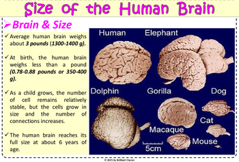 human brain colorful posters for classroom tpt