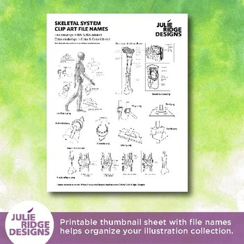 Human Skeletal System Clip Art Illustrations