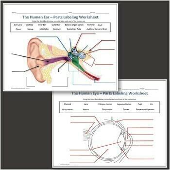 Human Eye & Ear Diagram Labeling Science Worksheet for Google Slides