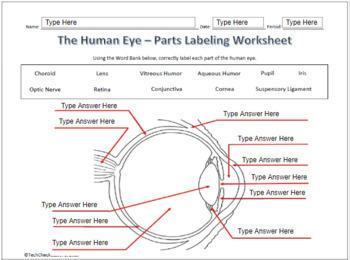 Human Eye Ear Diagram Labeling Science Worksheet For Google Slides