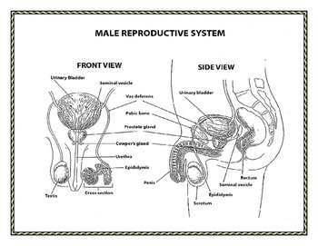 Human Growth and Development: Male and Female Reproductive Systems Notes