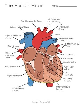 graphic relating to Printable Heart Diagram referred to as Human Middle Diagram, Coloring Web page, and Example