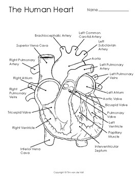 Human Heart Diagram, Coloring Page, and Illustration by ...
