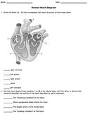 Human Heart Diagram Worksheet