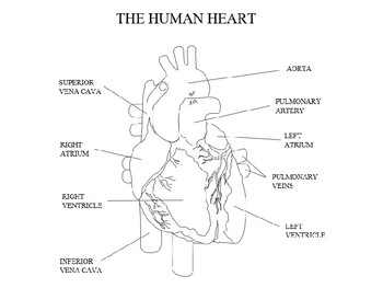 Human Heart labelled diagram