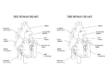 Human Heart labelled diagram by Steven's Social Studies   TpT