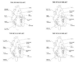 Human Heart labelled diagram by Steven's Social Studies | TpT