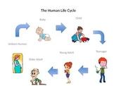 Human Life Cycle