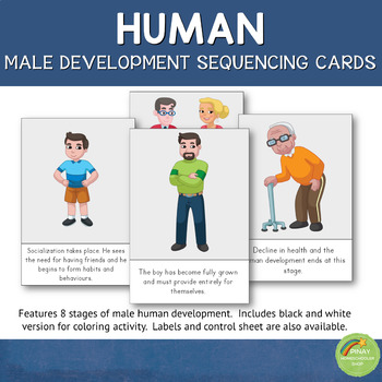 Human (Male) Development Sequencing Cards