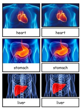 Human Organs Montessori 3-part cards--Safari Toob Human Organs
