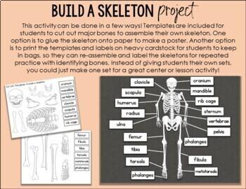 Human Skeletal System Investigation