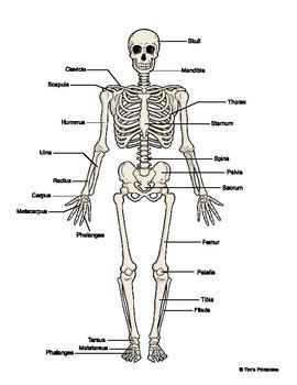 human skeleton diagram color black white w fill in. Black Bedroom Furniture Sets. Home Design Ideas