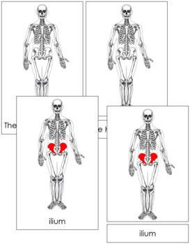 Human Skeleton Nomenclature: 3-Part Cards