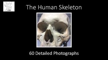 Human Skeleton. Photographic Slideshow