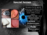 Human Special Senses