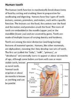 Human Teeth Handout