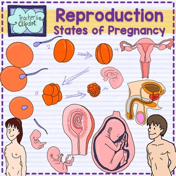 Human reproductive system and Stages of pregnancy clipart