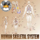 Human skeletal system and bone cross section for classroom and commercial use.