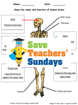 Human Skeleton Lesson plan and Worksheet