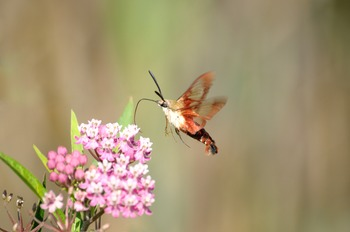 Hummingbird Moth Collecting Nector