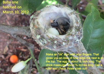 Hummingbird Nest Up Close and Personal