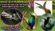 Hummingbirds - PowerPoint and Activities