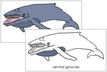 Humpback Whale Nomenclature Cards