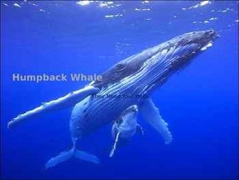 Humpback Whale Power Point - 12 slides great facts and pictures