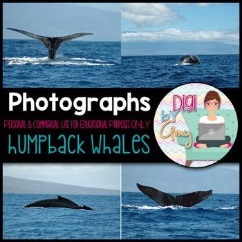 Humpback Whales Stock Photos - Photographs