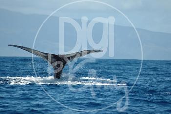 Humpback Whales Stock Photos