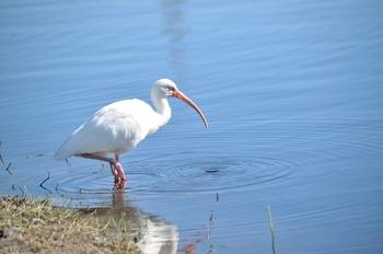 Hunting White Ibis