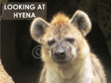 Hyena  - Interactive PowerPoint presentation