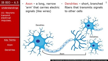 IB Biology (2016) - 6.5 - Neurons & Synapses