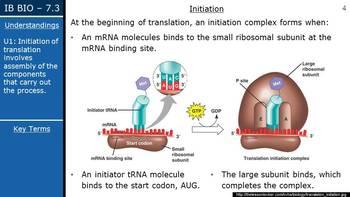 IB Biology (2016) - 7.3 - Translation PPT