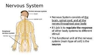 IB Biology Nervous System PPT