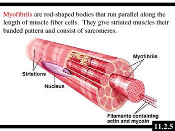 IB Biology (2009) - Topic 11.2 - Muscles & Movement PPT
