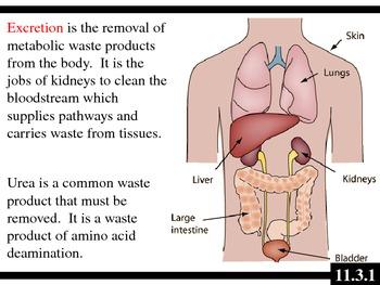 IB Biology (2009) - Topic 11.3 - Kidneys (Excretory System) PPT