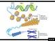 IB Biology (2009) - Topic 4.1 - Chromosomes PPT