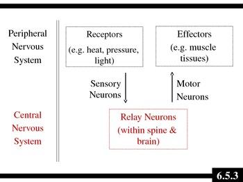 IB Biology (2009) - Topic 6.5 - Nerves, Hormones & Homeostasis PPT