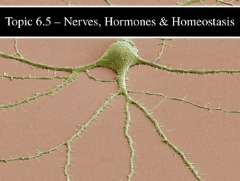 IB Biology (2009) - Topic 6.5 - Nerves, Hormones & Homeostasis PPT