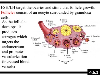 IB Biology (2009) - Topic 6.6 - Reproductive System PPT