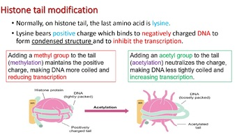 IB HL Biology topic 7.2: Transcription and gene expression