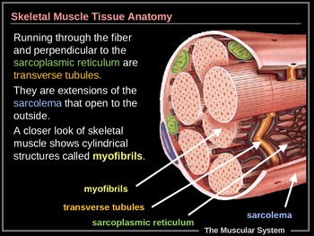 ILLUSTRATED Muscular System!