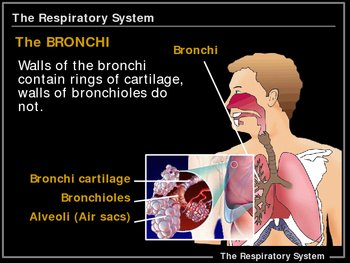 ILLUSTRATED Respiratory System!