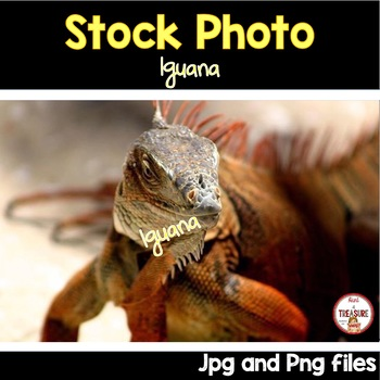 Iguana Stock Photo- Animals